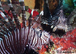Are you my mother? These two Lionfish occupied the same h... by Steven Anderson 